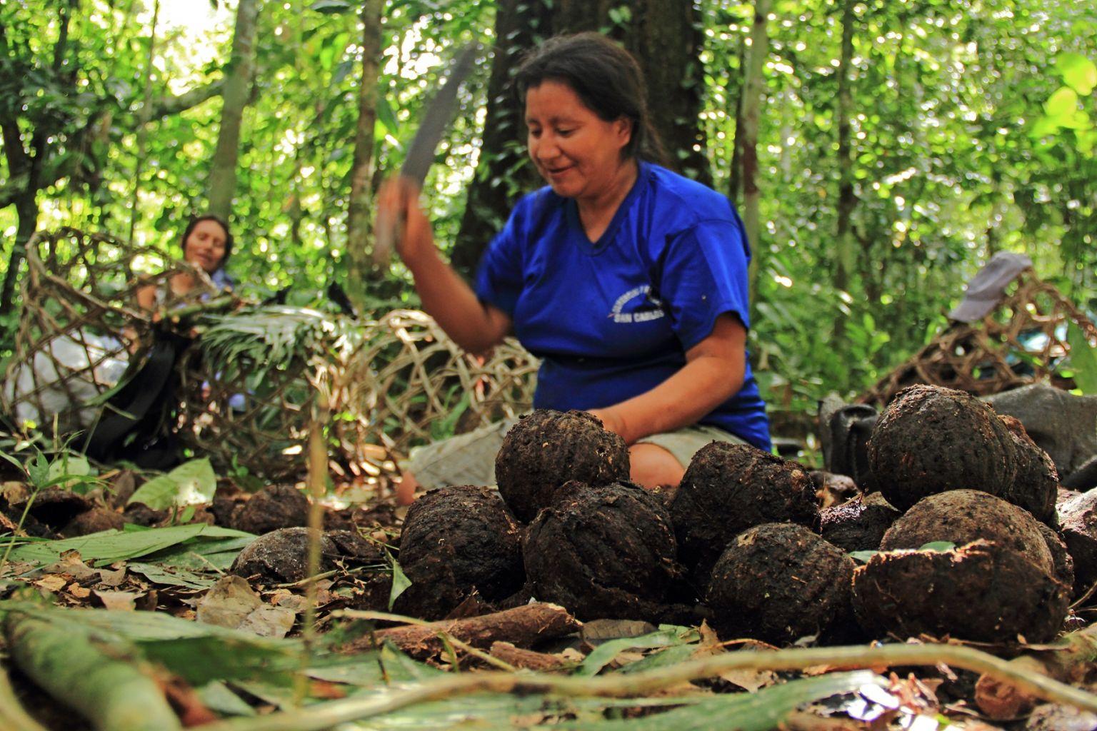 Madre de Dios: Implementan proyecto sobre castaña que beneficia a 650 familias – Inforegion