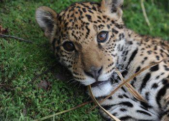 Según los reportes, el Perú registra la segunda población más grande de este felino
